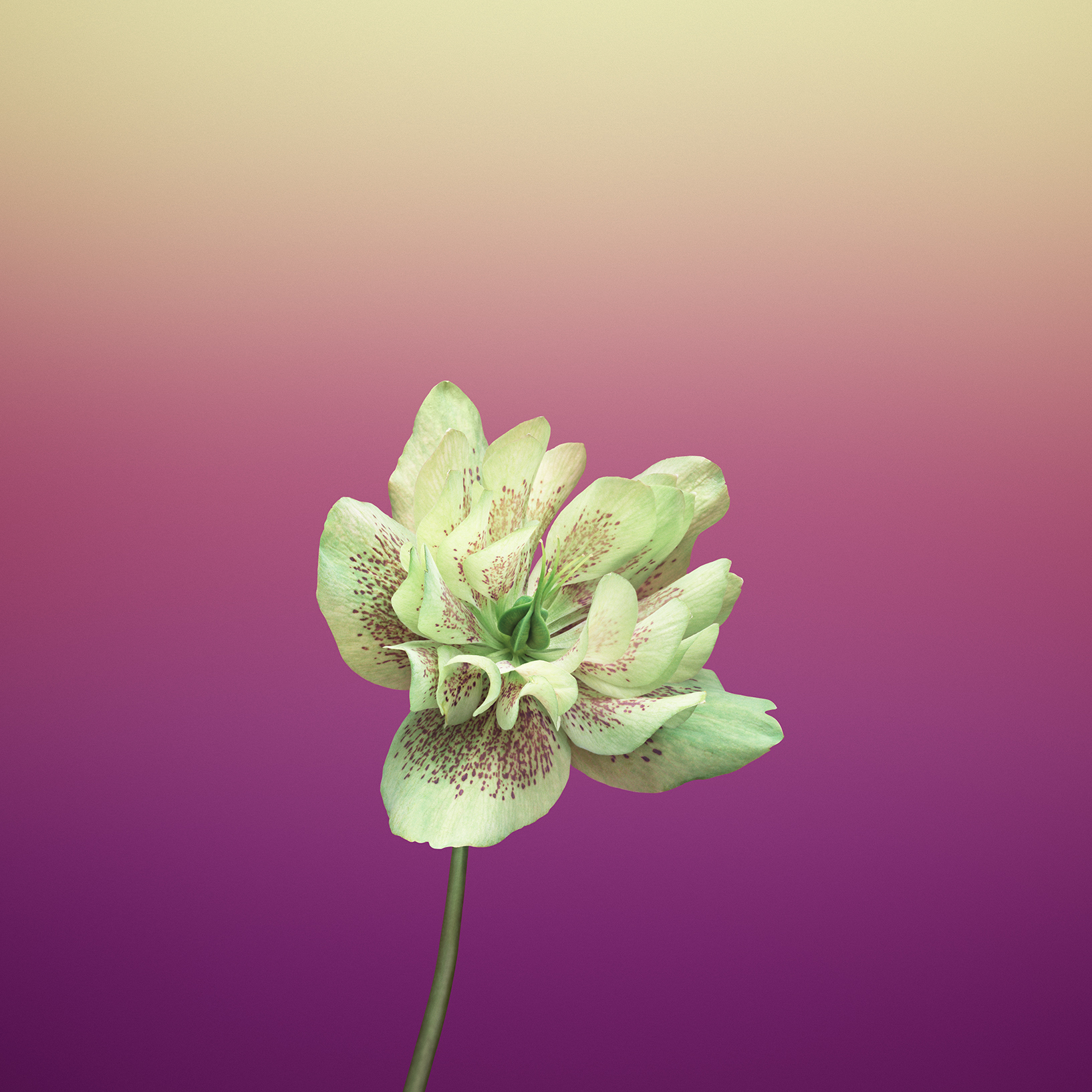 iOS_11_GM_Wallpaper_Flower_HELLEBORUS
